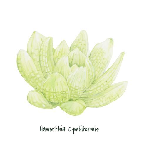 Haworthia cymbiformis dessinés à la main succulente