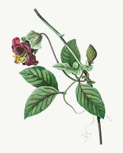 Blomstrande Cobaea Scandens