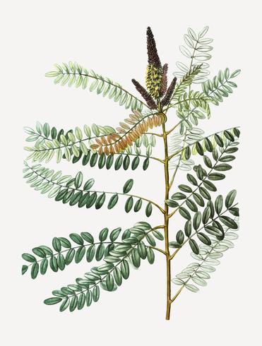 False indigo bush plant