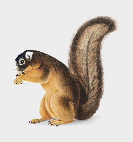 Illustrazione di scoiattolo volpe