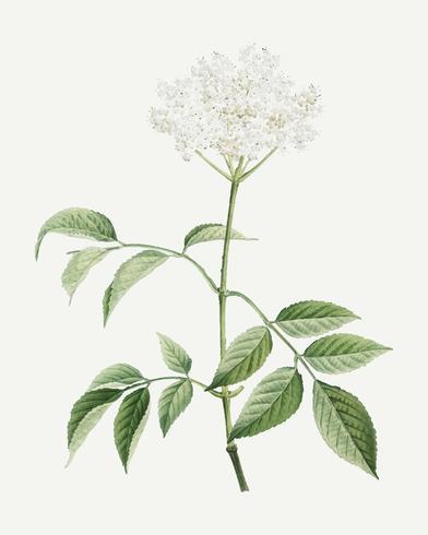 Arbre fleur de sureau