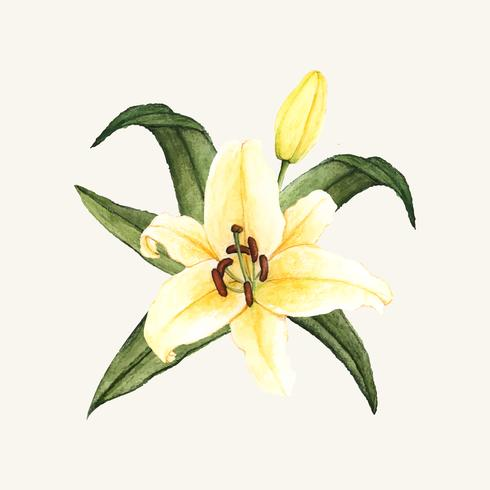 Dibujado a mano flor de lirio blanco aislado