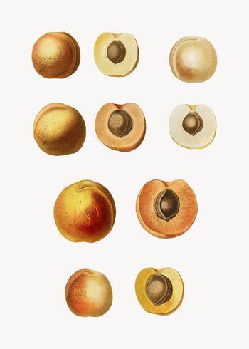 Aprikosenfrüchte