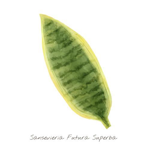 Sansevieria blad isolerad på vit bakgrund