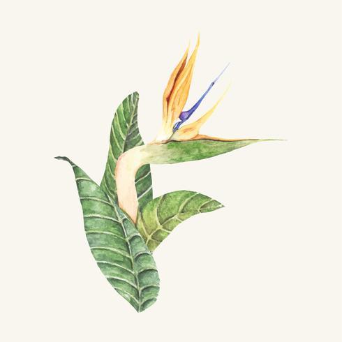 Handdragen fågel av paradiset blomma isolerad