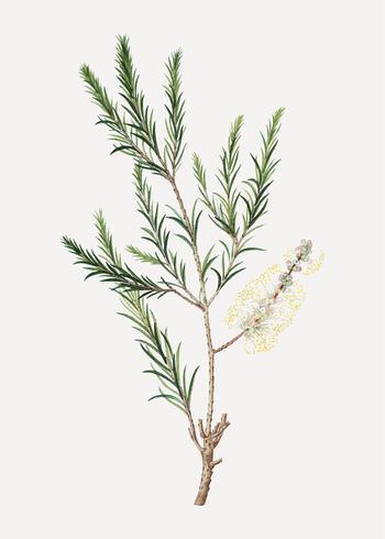 Planta de paperbark do pântano