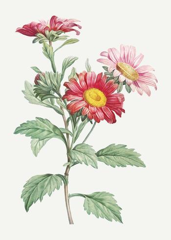 Blommande röda asterblommor