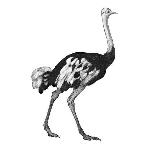 Vintage illustrations of Ostrich