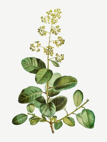 Fiore di fioritura di Smoketree