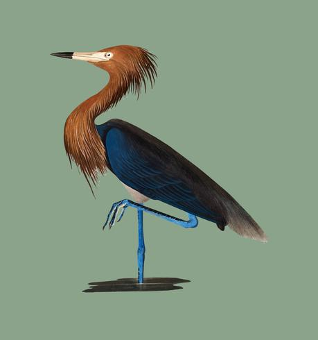 Purple Heron illustration