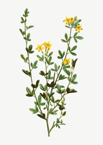 Flores de jasmim amarelo