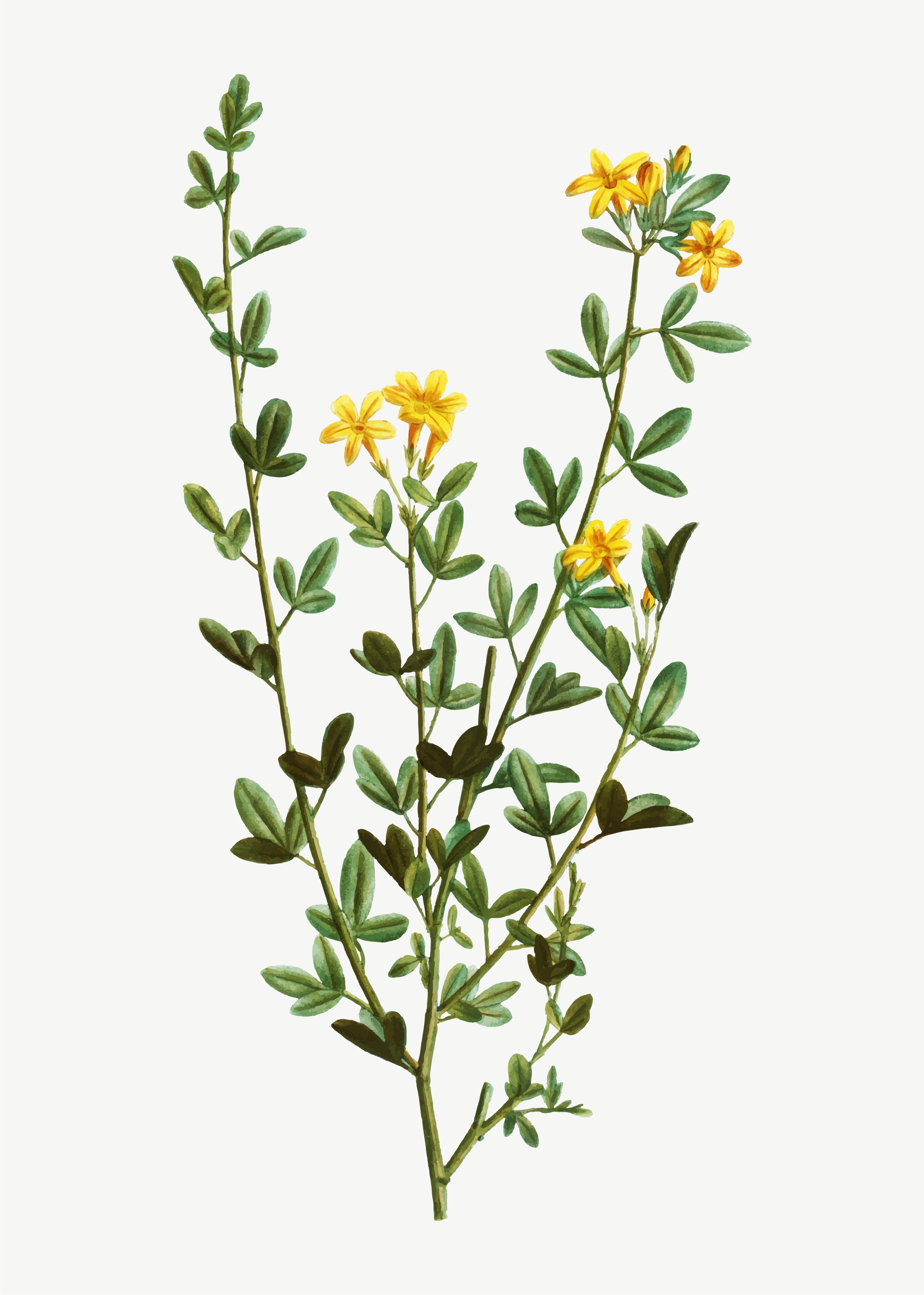Yellow Jasmine flowers - Download Free Vectors, Clipart ...