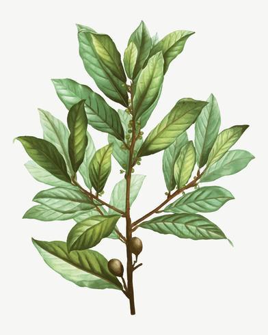 Branche d'arbre laurier