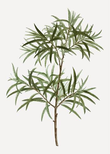 Bitter willow branch