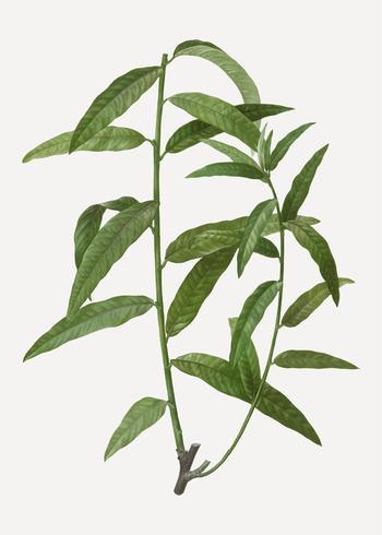 Branche de saule panier