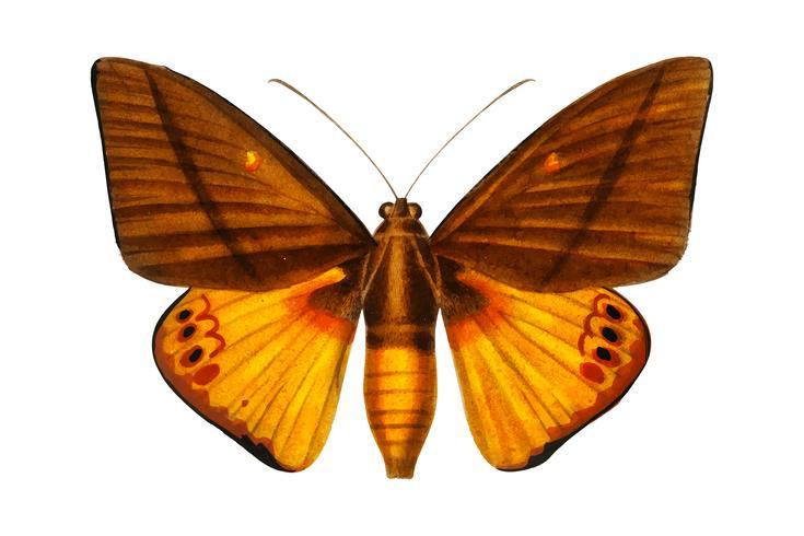 Yagra Fonscolombe (Castnia Japyx) geïllustreerd door Charles Dessalines D 'Orbigny (1806-1876). Digitaal verbeterd van onze eigen uitgave van Dictionnaire Universel D'histoire Naturelle uit 1892.