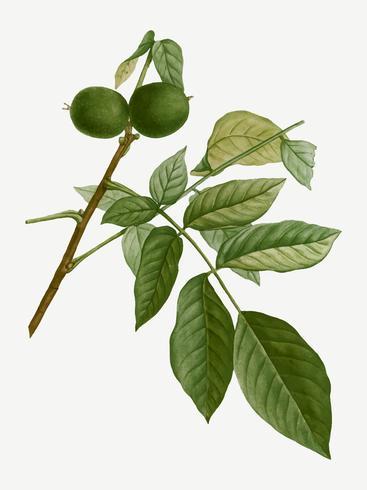 English walnut tree