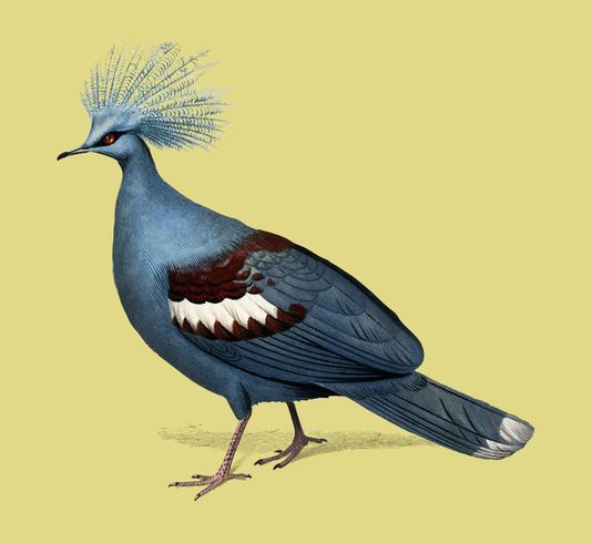 Gekroonde duif (Goura) geïllustreerd door Charles Dessalines D 'Orbigny (1806-1876). Digitaal verbeterd van onze eigen uitgave van Dictionnaire Universel D'histoire Naturelle uit 1892.