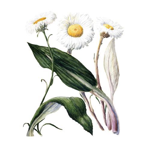 Planta antigua de Nueva Zelanda, margaritas de montaña dibujadas por Sarah Featon (1848 - 1927). Mejorado digitalmente por rawpixel.