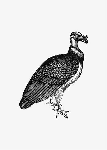 King Vulture schaduwtekening