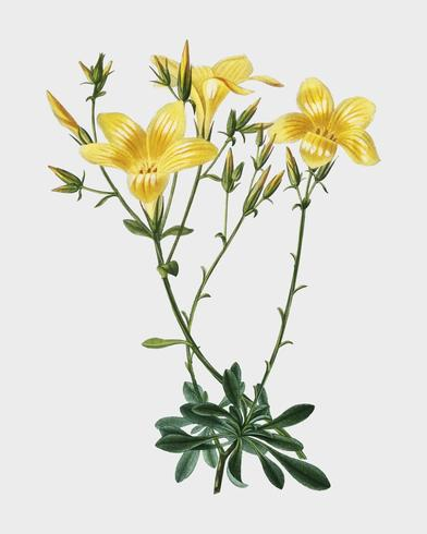 Yellow flax (Linum glandulosum) illustrated by Charles Dessalines D' Orbigny (1806-1876). Digitally enhanced from our own 1892 edition of Dictionnaire Universel D'histoire Naturelle.