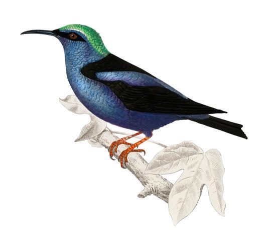 Rotbeiniger Honigvogel (Caereba cyanea), illustriert von Charles Dessalines D 'Orbigny (1806-1876). Digital verbessert aus unserer eigenen Ausgabe von 1892 von Dictionnaire Universel D'histoire Naturelle.
