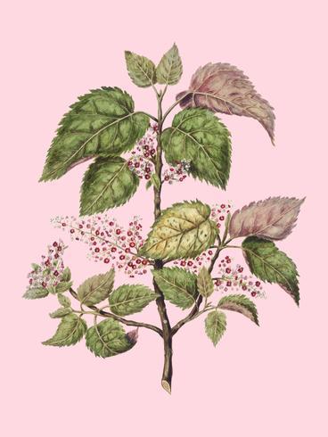 Planta antiga Makomako - Aristotelia Racemosa desenhada por Sarah Featon (1848 - 1927). Digitalmente aprimorada pelo rawpixel.