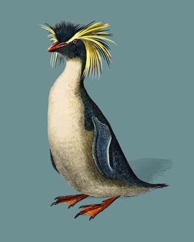 Rockhopper pingvin (Eudyptes chrysocome) illustrerad av Charles Dessalines D 'Orbigny (1806-1876). Digitalförstärkt från vår egen 1892-upplaga av Dictionnaire Universel D'histoire Naturelle.