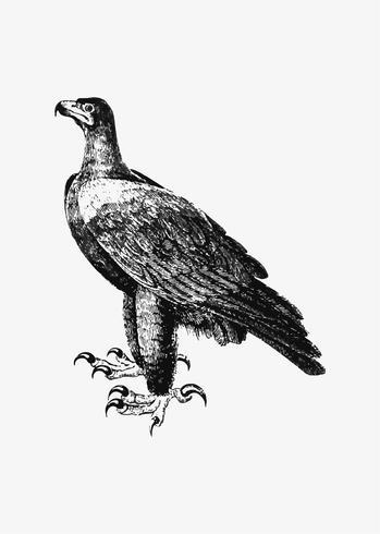 Desenho de sombra de águia negra