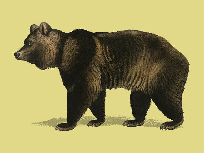Urso-pardo (Ursus Arctos) ilustrado por Charles Dessalines D 'Orbigny (1806-1876). Digital reforçada a partir de nossa própria edição de 1892 do Dictionnaire Universel D'histoire Naturelle.