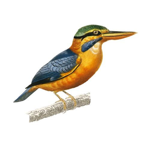 Rufous-collared kingfisher (Martin chasseur trapu) illustrated by Charles Dessalines D' Orbigny (1806-1876). Digitally enhanced from our own 1892 edition of Dictionnaire Universel D'histoire Naturelle.