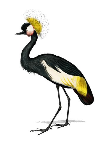 Black crowned crane (Balearica pavonina) illustrated by Charles Dessalines D' Orbigny (1806-1876). Digitally enhanced from our own 1892 edition of Dictionnaire Universel D'histoire Naturelle.