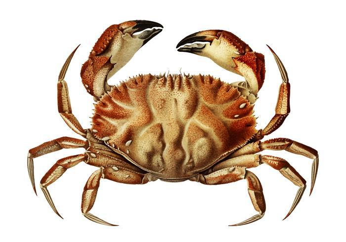Dungeness krabba
