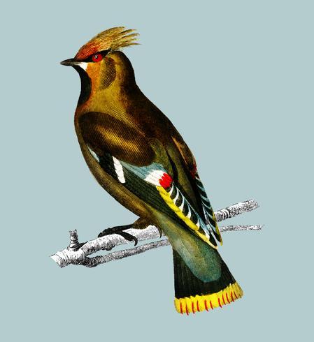 Cwingwing de Bohême (Bombycilla garrulus) illustré par Charles Dessalines d'Orbigny (1806-1876) Amélioré numériquement à partir de notre propre édition de 1892 du Dictionnaire Universel D'histoire Naturelle.