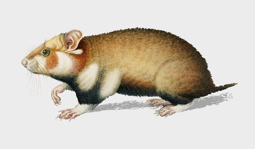 Hamster (Cricetus) illustrated by Charles Dessalines D' Orbigny (1806-1876). Digitally enhanced from our own 1892 edition of Dictionnaire Universel D'histoire Naturelle.