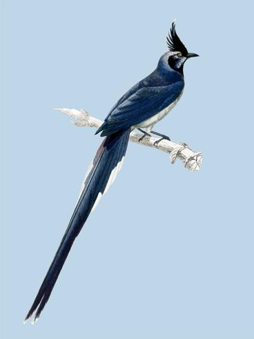 Black-throated magpie-jay (Pica colliei) illustrated by Charles Dessalines D' Orbigny (1806-1876). Digitally enhanced from our own 1892 edition of Dictionnaire Universel D'histoire Naturelle.