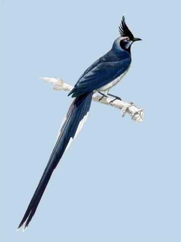 Schwarzkehl-Elster-Jay (Pica colliei), dargestellt von Charles Dessalines D 'Orbigny (1806-1876). Digital verbessert aus unserer 1892er Ausgabe von Dictionnaire Universel D'histoire Naturelle.
