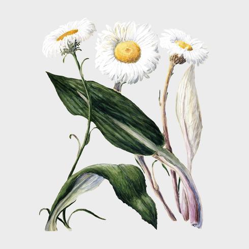 Margaridas antigas da montanha de Nova Zelândia da planta tiradas por Sarah Featon (1848 - 1927). Digitalmente aprimorada pelo rawpixel.