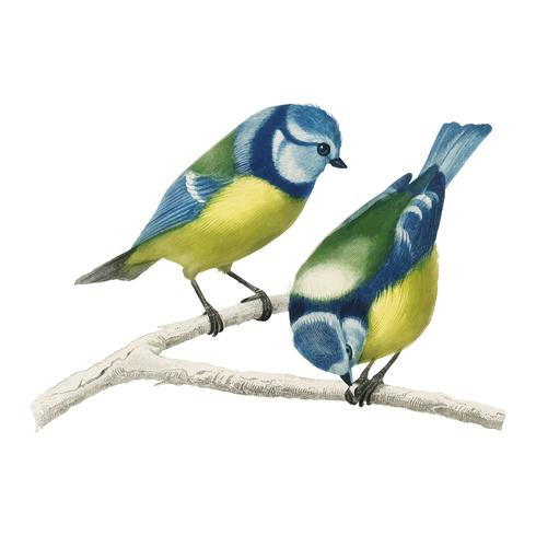 Eurasian blue tit (Cyanistes Caeruleus) illustrated by Charles Dessalines D' Orbigny (1806-1876). Digitally enhanced from our own 1892 edition of Dictionnaire Universel D'histoire Naturelle.