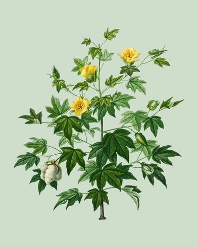 Sea Island-katoen (gossypium vitifolium), geïllustreerd door Charles Dessalines D 'Orbigny (1806-1876). Digitaal verbeterd van onze eigen uitgave van Dictionnaire Universel D'histoire Naturelle uit 1892.