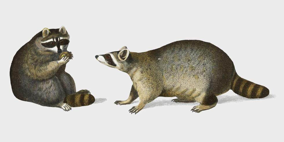 Raccoon (Procyon lotor) illustrated by Charles Dessalines D' Orbigny (1806-1876). Digitally enhanced from our own 1892 edition of Dictionnaire Universel D'histoire Naturelle.