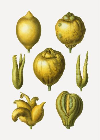Citron citrusfrukt