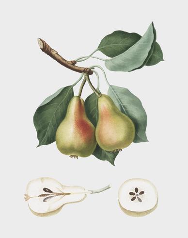 Pear from Pomona Italiana illustration