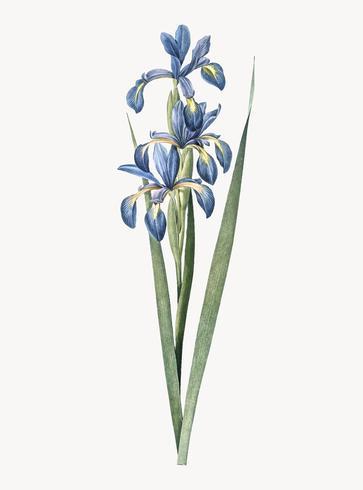 Vintage Illustration of Blue iris