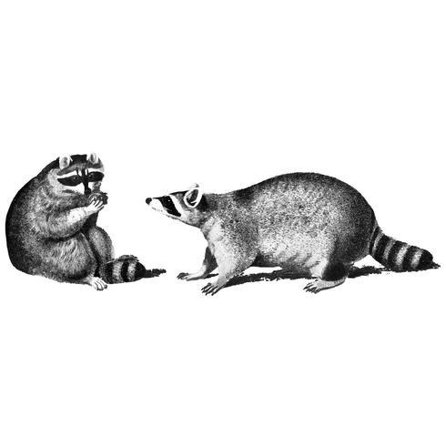 Vintage illustraties van wasberen