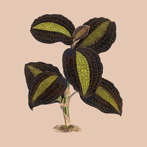 Der golden - geäderte Anaectochilus - Druck aus dem Buch Gems of Nature and Art (1870), ein Vintage - Botanikdruck aus herrlich bunten Blättern. Digital verbessert durch Rawpixel.