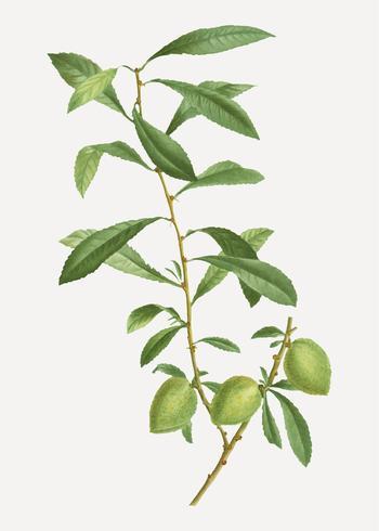 Dwarf Russian almond branch