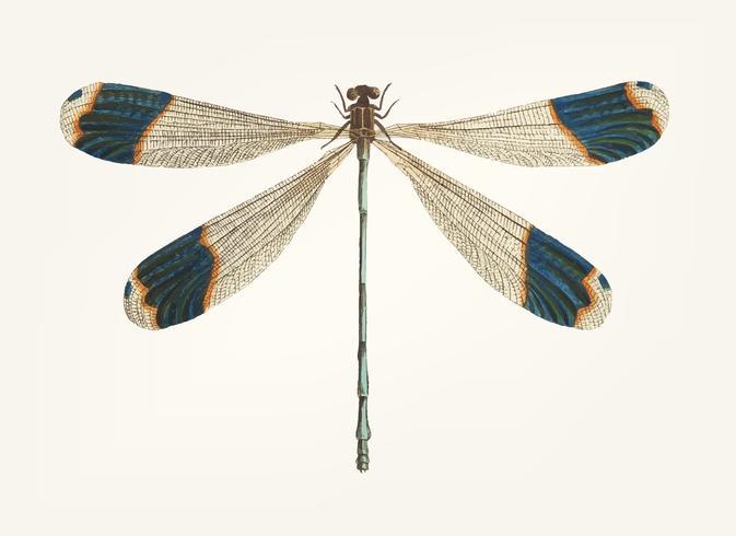 Illustration vintage de libellule à bout bleu