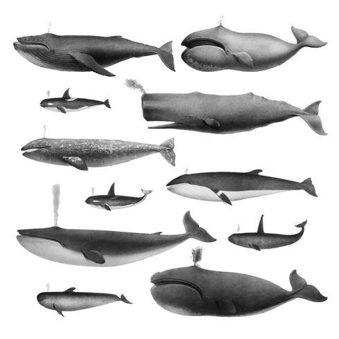 Vintage illustraties van walvissen