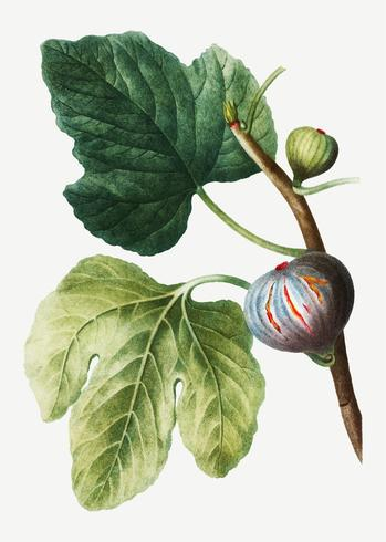 Fresh figs on a tree